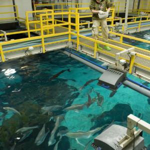 Alimentação de peixes do tanque grande